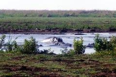 Doppade flodhästar fotografering för bildbyråer