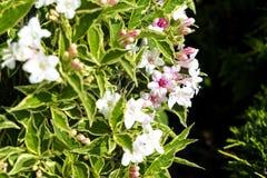 Doppel-farbige Blätter werden mit weißen Blumen verziert Stockbilder
