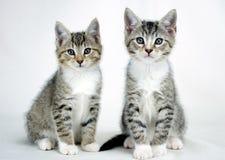 Doppel-Tabby Kittens Adoption Foto lizenzfreie stockfotografie