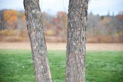 Doppelbäume Stockbilder