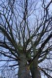 Doppelbäume im Winter Lizenzfreie Stockfotografie