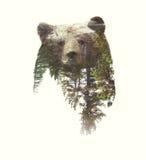 Doppelbelichtungs-Porträts des Bären und des grünen Waldes Lizenzfreies Stockbild