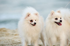 Doppelhunde, zwei Hunde auf Strandweiß Stockbilder