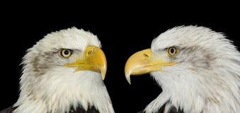 Doppelportrait der kahlen Adler getrennt auf Schwarzem Lizenzfreies Stockbild