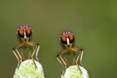 Doppelräuberfliegen-Gesichtsansicht Lizenzfreies Stockfoto