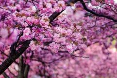 Doppelschicht Cherry Blossom lizenzfreie stockfotos