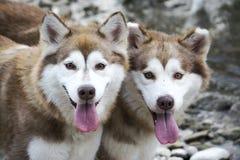 Doppelschlittenhunde Stockfotos