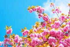 Doppelte Kirschblüten auf dem Hintergrund des blauen Himmels bewölken sich Lizenzfreies Stockfoto