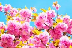 Doppelte Kirschblüten in voller Blüte Stockbilder