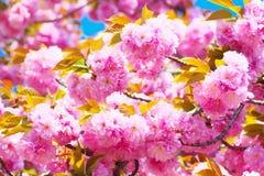 Doppelte Kirschblüten in voller Blüte Lizenzfreie Stockfotografie