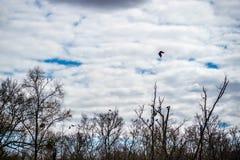 Doppelte Kormoranvögel mit Haube in Abbeville, Louisiana lizenzfreies stockfoto