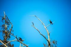 Doppelte Kormoranvögel mit Haube in Abbeville, Louisiana stockfotografie