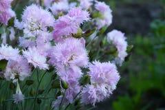 Doppelte rosa Gartennelke lizenzfreie stockfotos