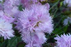 Doppelte rosa Gartennelke stockfotos