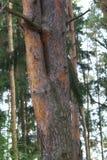 Doppelte, schöne Kiefer in einem dichten Kiefernwald Stockfoto