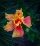 Doppelter überlagerter Hibiscus lizenzfreie stockfotografie