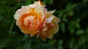 Doppelter roter gelbe Rosen-Herbst Garten stock footage