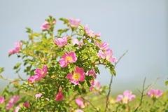 Doppelter Zimt Rose, Rosa majalis Stockfotografie