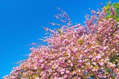 Doppeltes blühte Kirschbaum gegen klaren blauen Himmel lizenzfreies stockfoto