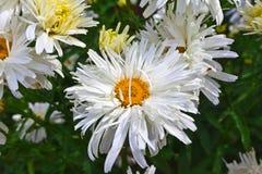 Doppeltes Blumenblattgänseblümchen Stockbild