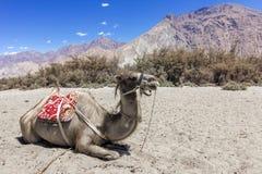 Doppeltes Buckelkamel, das in der trockenen Hitze von Nubra-Tal, Ladakh, Indien stillsteht stockfotografie