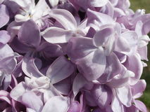 Doppeltes lila Makro Stockfoto