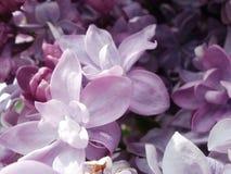 Doppeltes lila Makro Lizenzfreie Stockbilder
