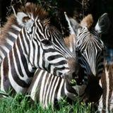 Doppeltes Portrait von Zebras. Stockfotos
