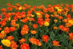Doppeltes Tulpen-Blumen-Wachsen im Blumenbeet lizenzfreie stockfotografie