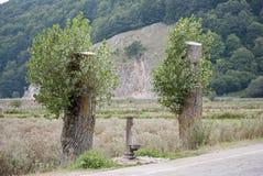 Doppeltschnittbaum stockfotografie