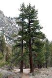 Doppi alberi Fotografia Stock Libera da Diritti