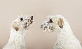 Doppi cani del wolfhound irlandese che osservano a sè Fotografie Stock