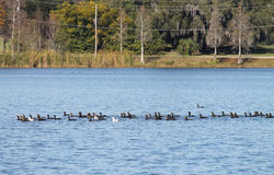 Doppi cormorani crestati Fotografie Stock