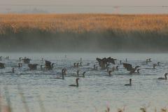 Doppi cormorani crestati Fotografia Stock Libera da Diritti