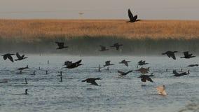Doppi cormorani crestati Fotografia Stock