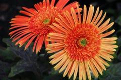 Doppi fiori del Gerbera Fotografie Stock