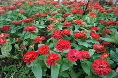 Doppi fiori rossi di zinnia Fotografia Stock Libera da Diritti