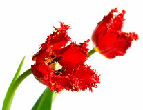 Doppi tulipani Immagine Stock