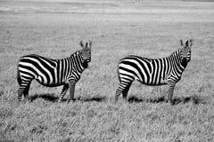 Doppia difficoltà nel cratere di Ngorongoro in Tanzania fotografia stock libera da diritti