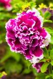 Doppia petunia Fotografie Stock