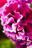 Doppia petunia Immagini Stock Libere da Diritti