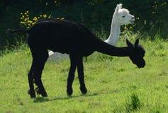 Doppia presa! Una coppia l'alpaca affascinante recentemente rasata Immagine Stock