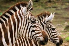 Doppia zebra Immagini Stock Libere da Diritti
