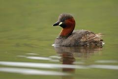 dopping little simning Fotografering för Bildbyråer