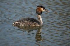 Dopping Podicepscristatus En waterbird arkivfoto