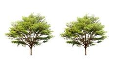Doppio albero di Chev di terminalia ivorensis isolato fotografie stock libere da diritti