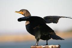 Doppio cormorant crestato Immagini Stock