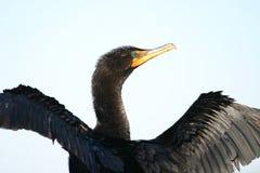 Doppio cormorant crestato Fotografie Stock Libere da Diritti