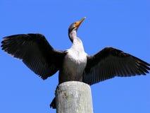 Doppio Cormorant crestato Fotografia Stock