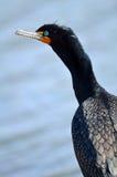 Doppio Cormorant crestato Fotografia Stock Libera da Diritti